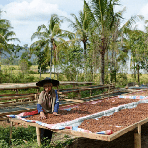 Drying Sumatra Coffee Beans