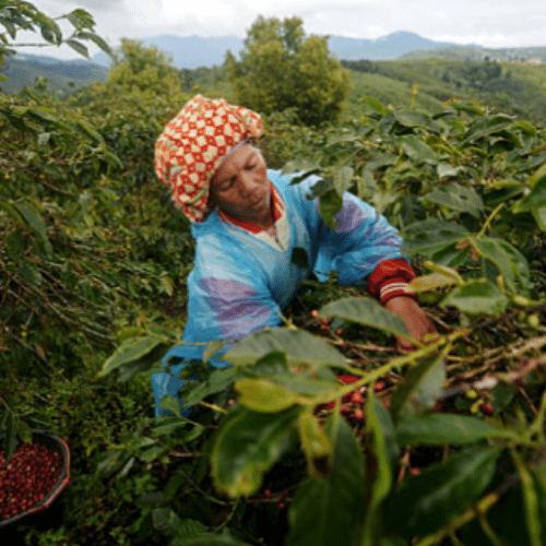 Coffee farmer picking fruit